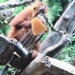 シンガポール動物園でオラウータンと触れ合う-その2-
